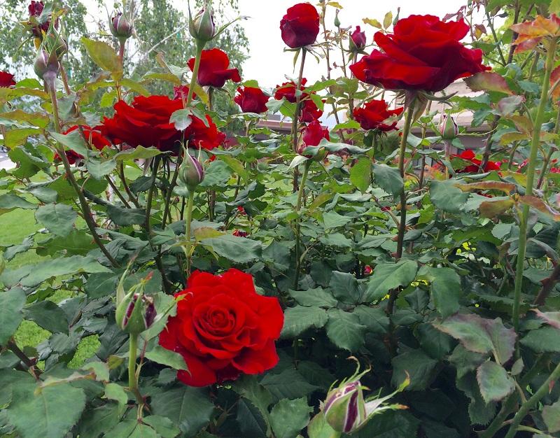 vườn hoa hồngĐà Lạt
